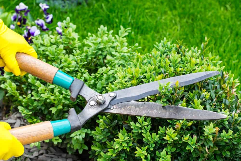 Pruning shears used to trim messy branches.
