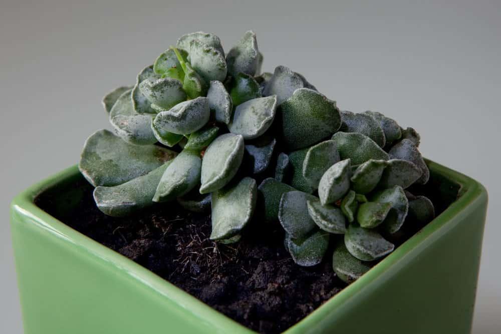 Adromischus cristatus in a pot