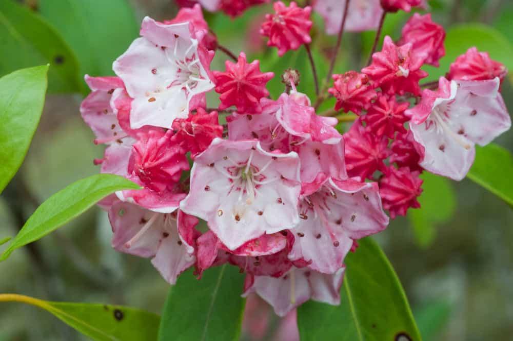 Laurel flowers