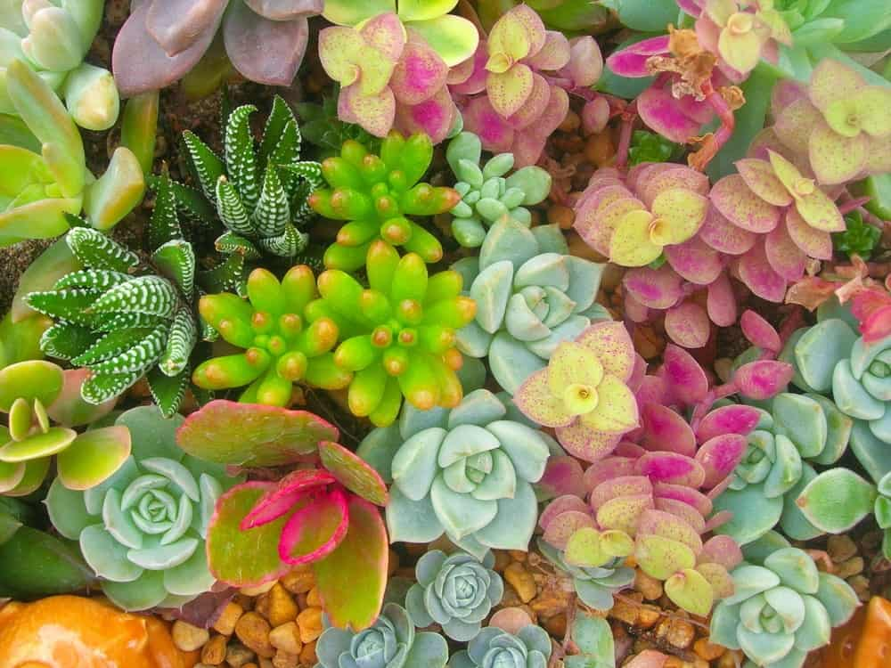 A variety of colorful miniature succulents.
