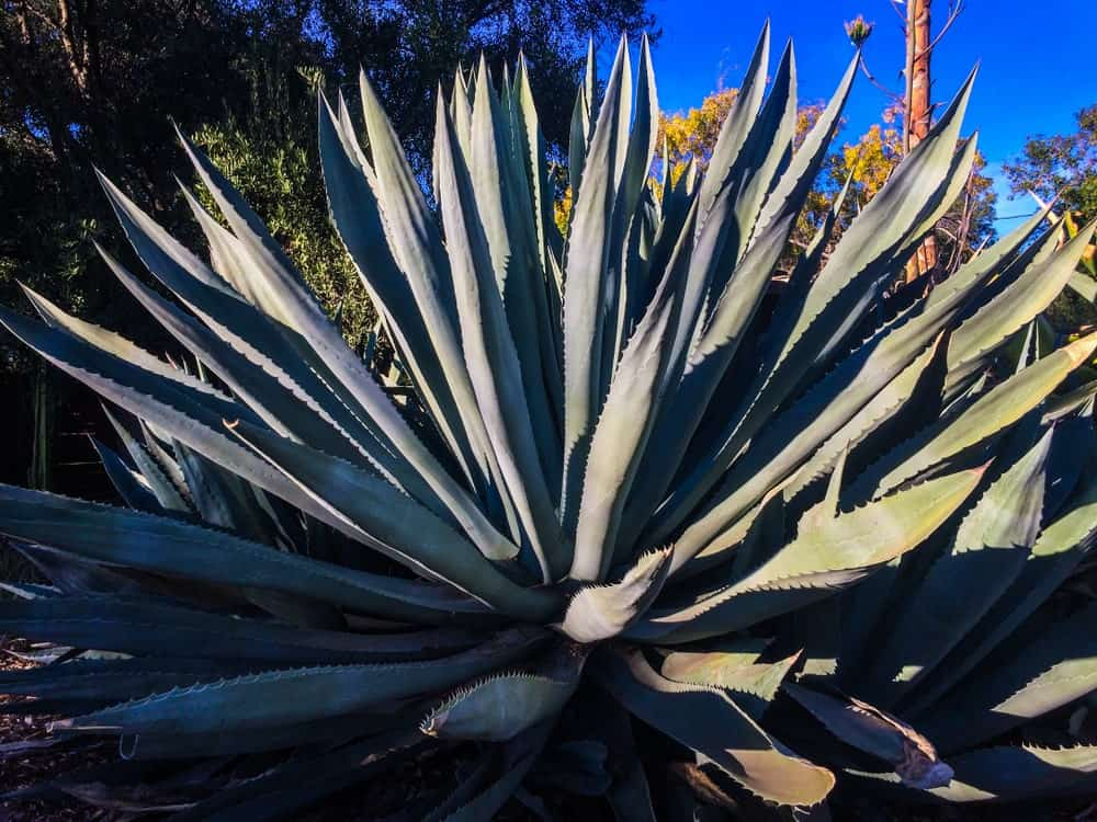 Large silver succulent cactus with sharp tips in foreground and the blossoming stalk of a century plant shooting skyward in the background.