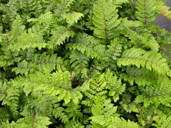 Evergreen fern plants