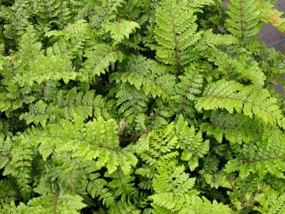 Evergreen fern plants