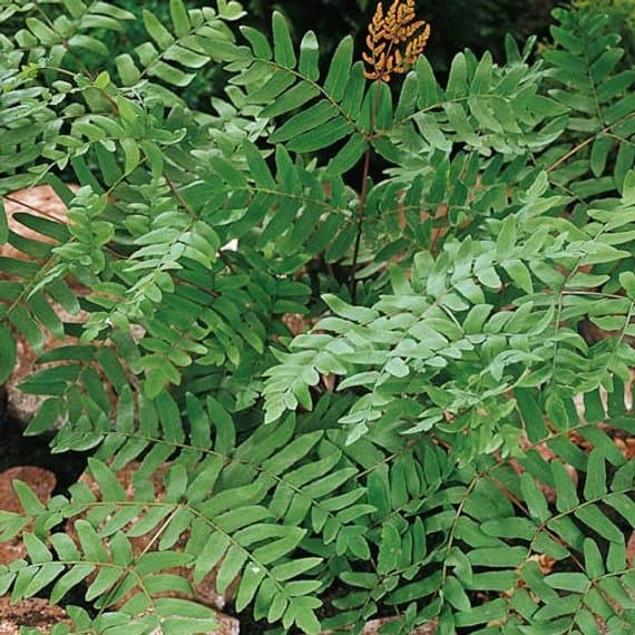 Herbaceous fern plants