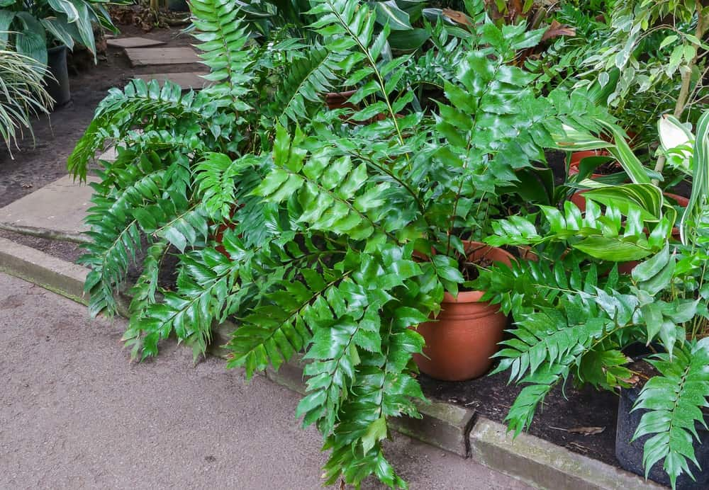 Holly Fern plants on patio cement ground
