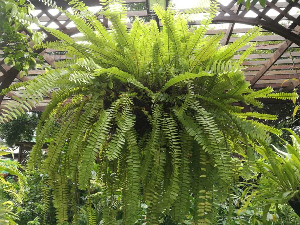 Outdoor hanging fern plant