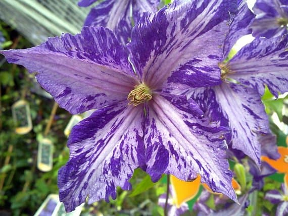 Oversized clematis flowers