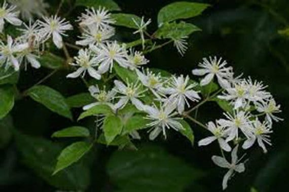 Small clematis flowers