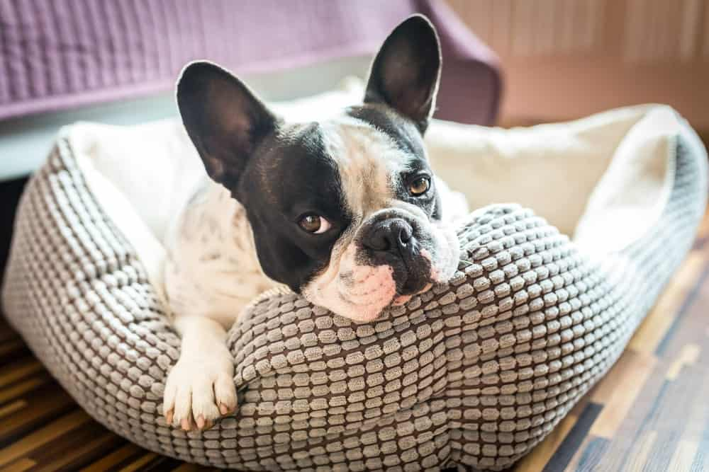 A French bulldog resting on his dog bed.