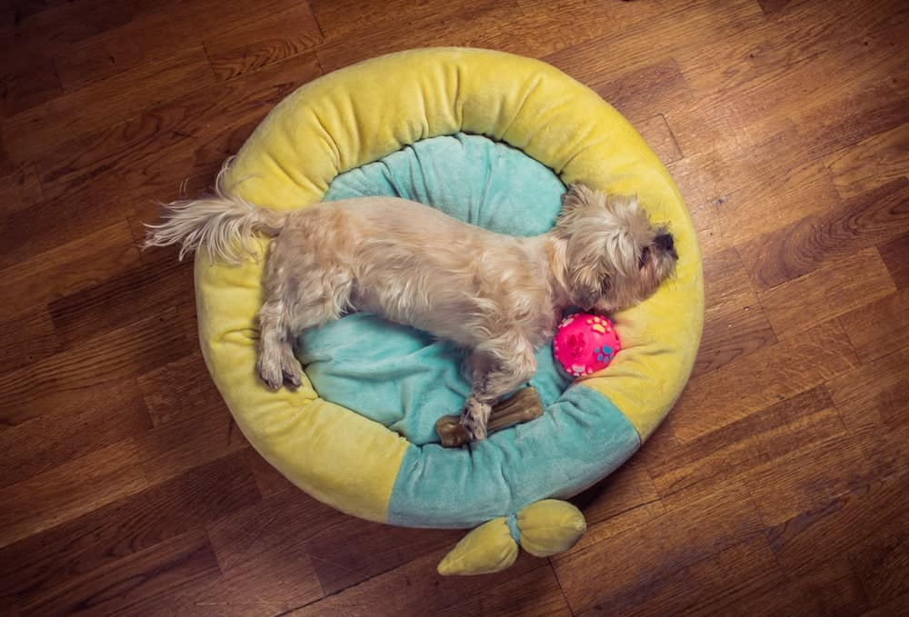Top view of a Yorkie dog sleeping on his donut-style dog bed with his toys.