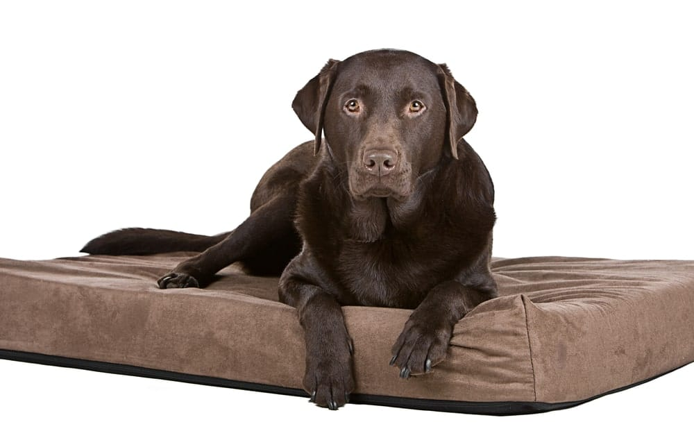 A chocolate Labrador resting on a memory foam dog bed.