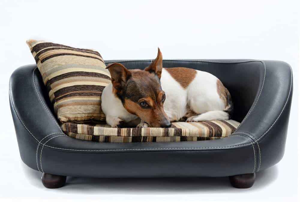 A Jack Russell Terrier resting on a pet sofa dog bed.