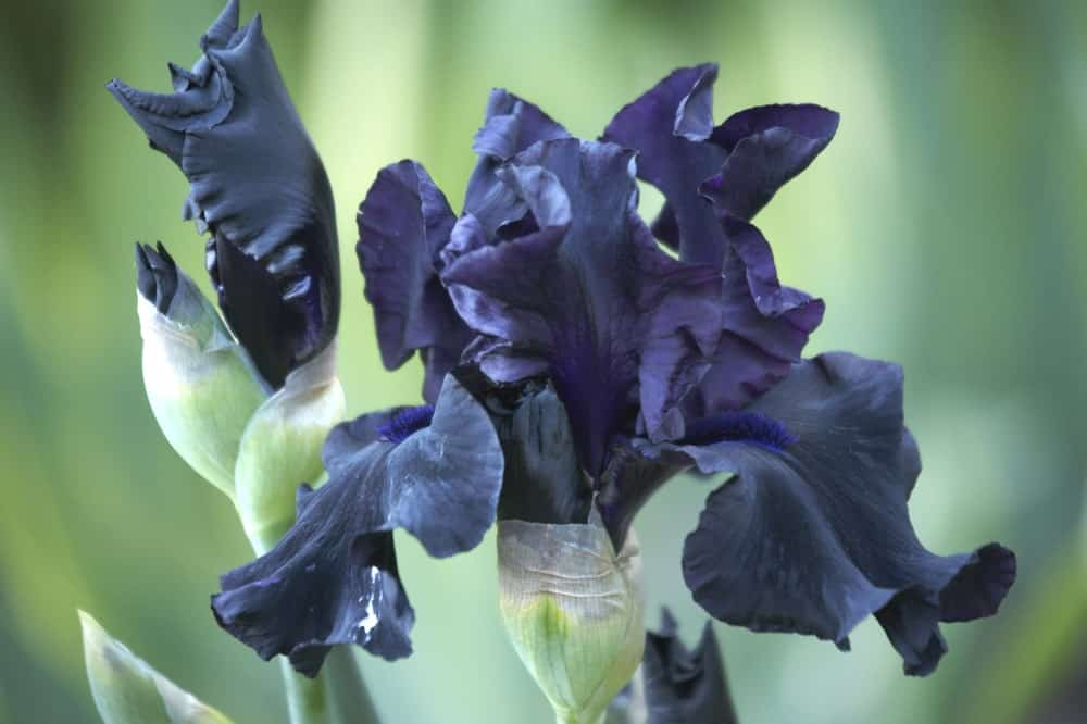 Bloom iris flowers
