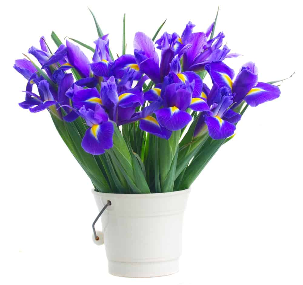 Bouquet of iris flowers in a white pail