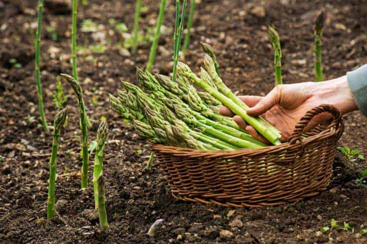 Fresh asparagus in a brown basket