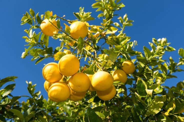 Grapefruits Hanging on a Tree Branch