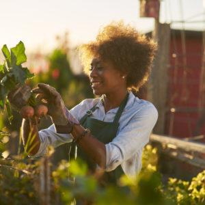 Woman gardening picking vegetables in vegetable garden