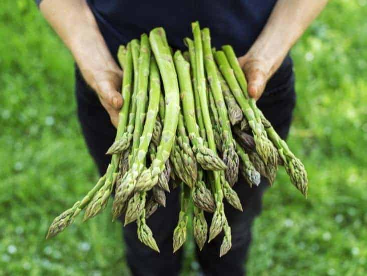 Holding freshgreen asparagus