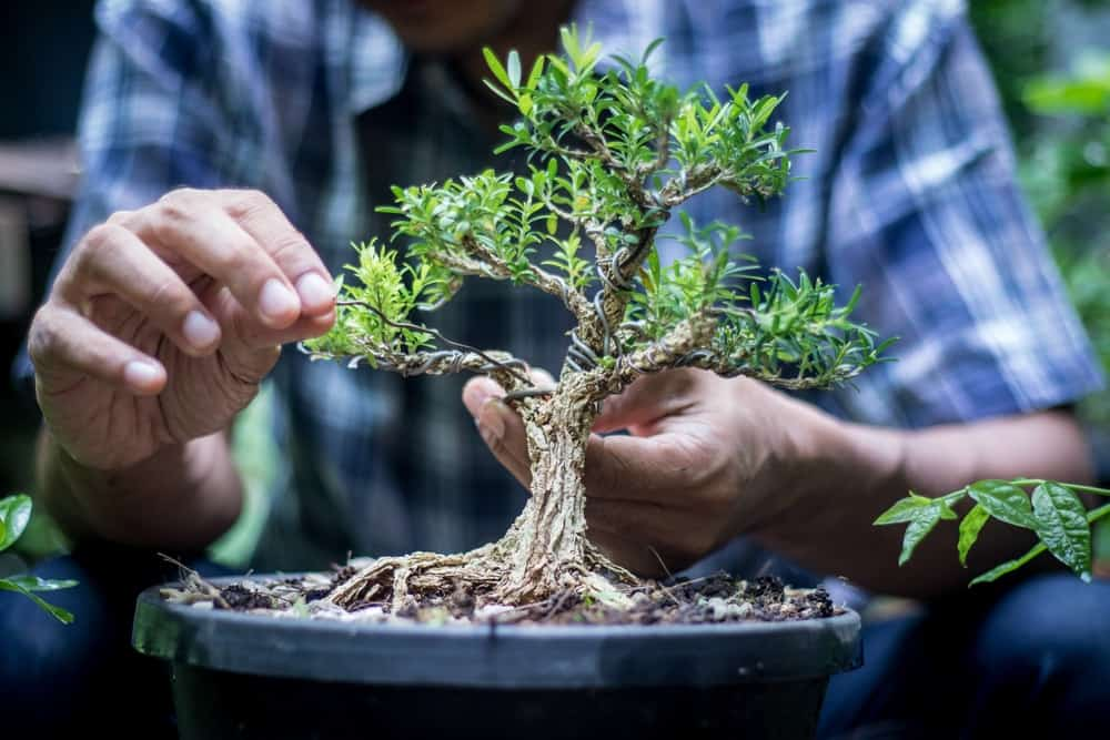 Wiring a potted Bonsai tree.