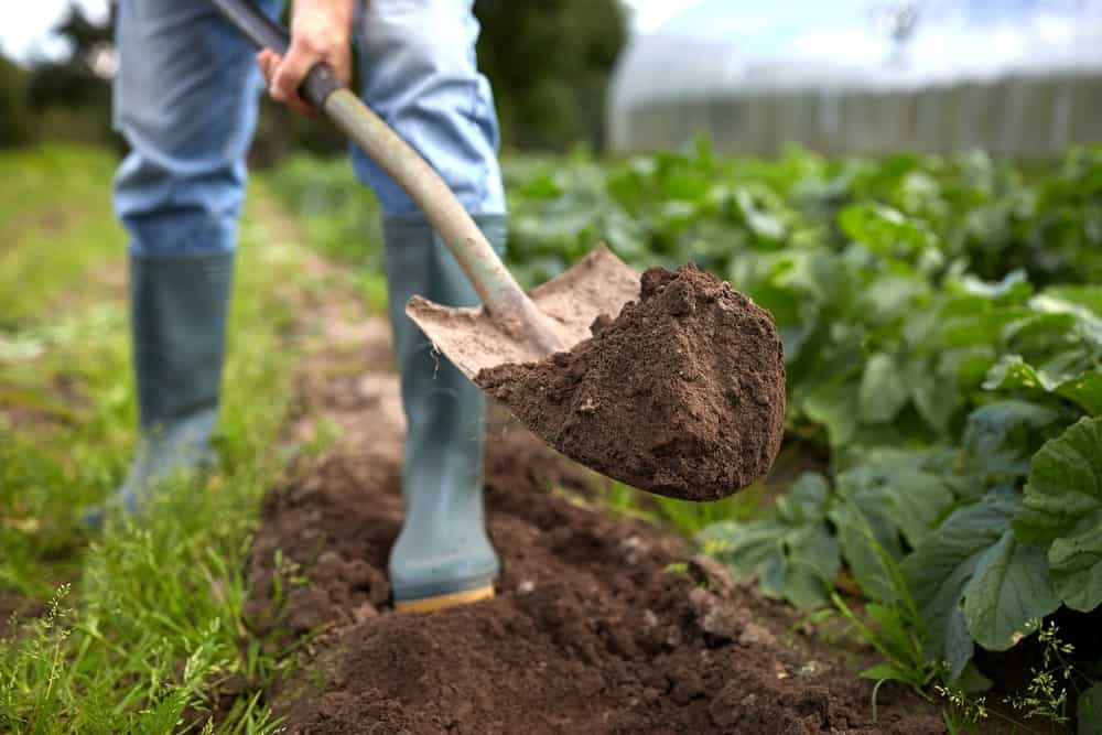The act of digging soil in a vegetable garden using a shovel.