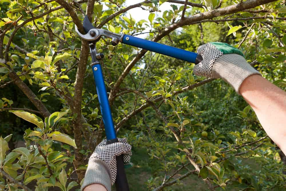 The act of pruning a tree's branches using a pruning shears.