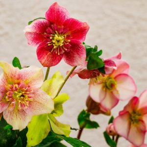 Different hellebore flowers