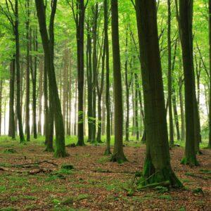 Beech Trees in a Beech Forest
