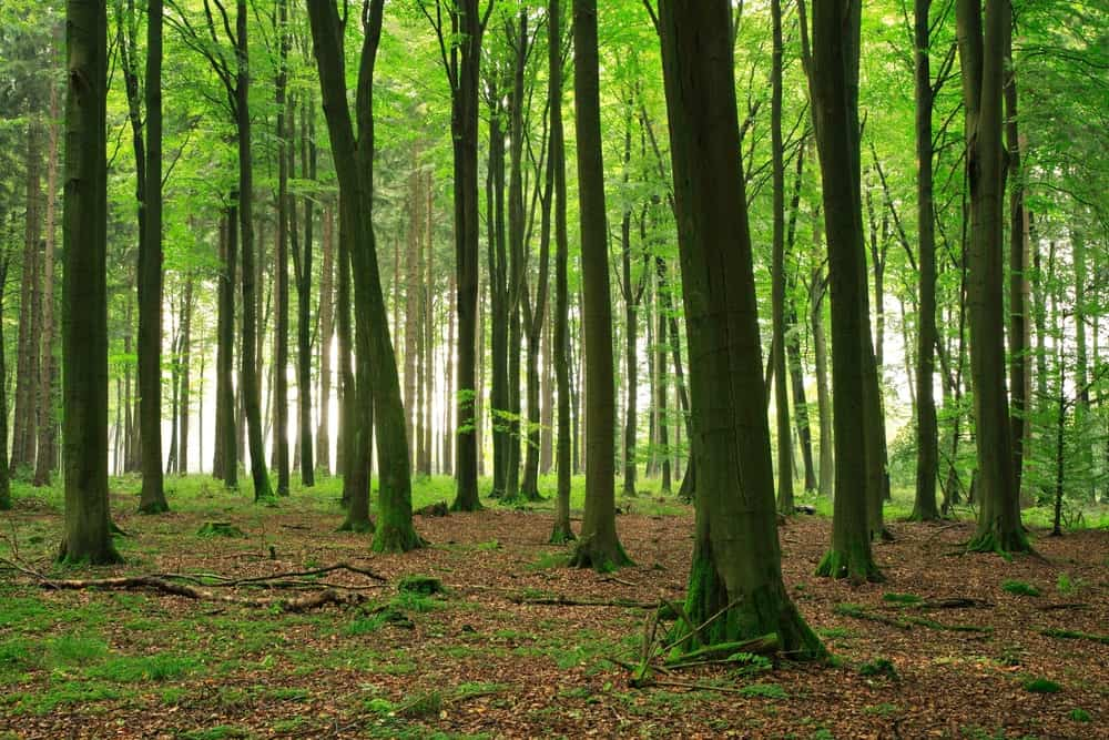 Beech Trees in a Beech Forest