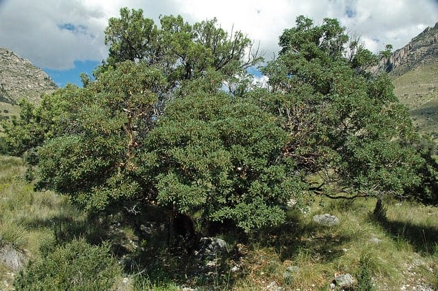 Mountain Mahogany Tree
