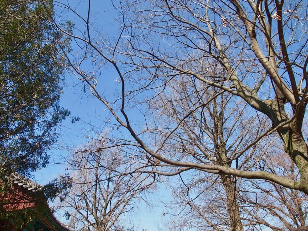 Japanese Blue Beech against The Blue sky