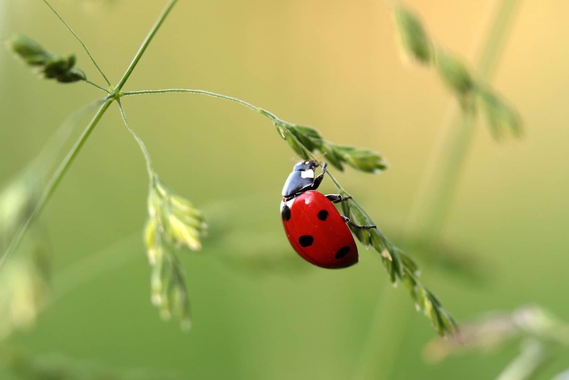 A ladybug clinging on thin leaves.