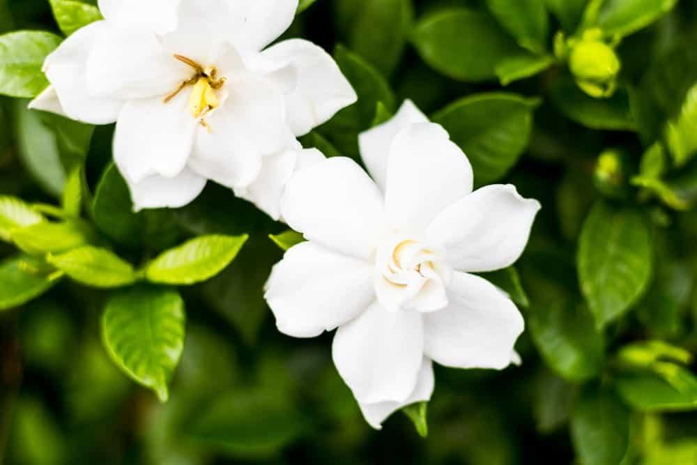 Cape jasmines