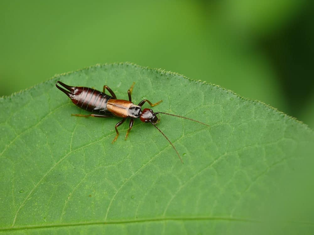 An earwig insect settling on a green leaf.