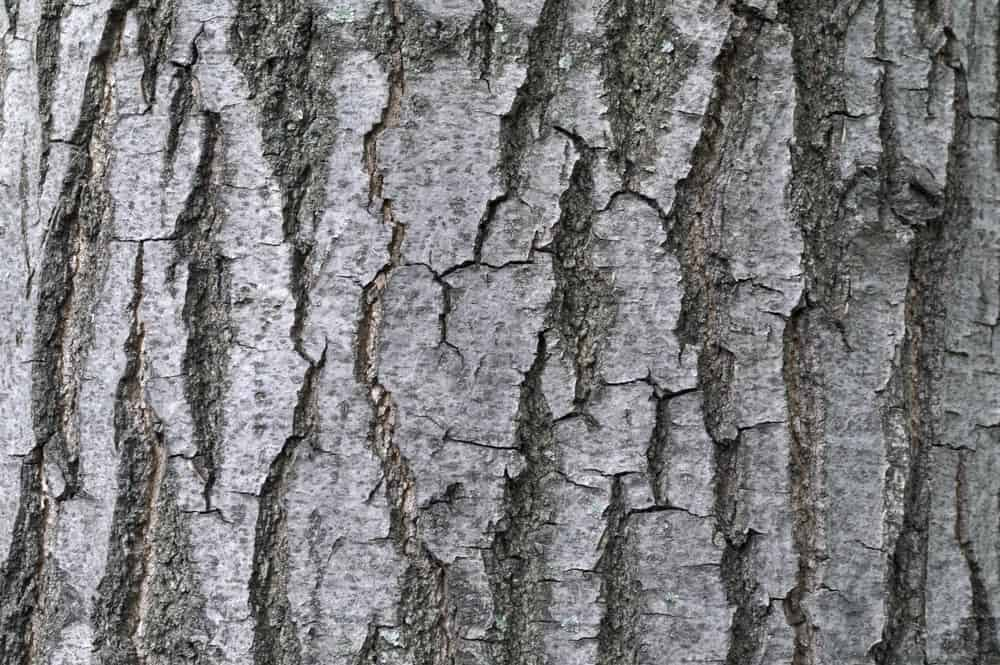 Gray tinted bark of ash tree