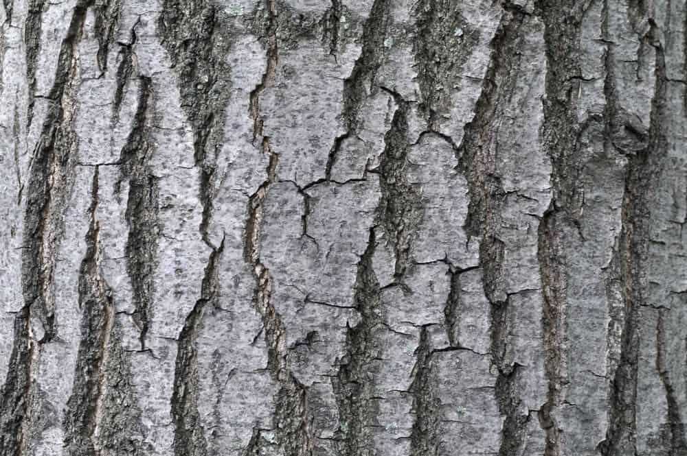 Gray tinted bark of ash tree