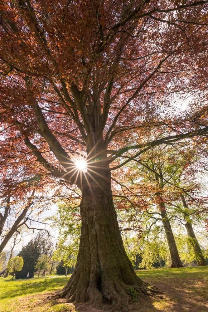 European Beech Tree in a Park