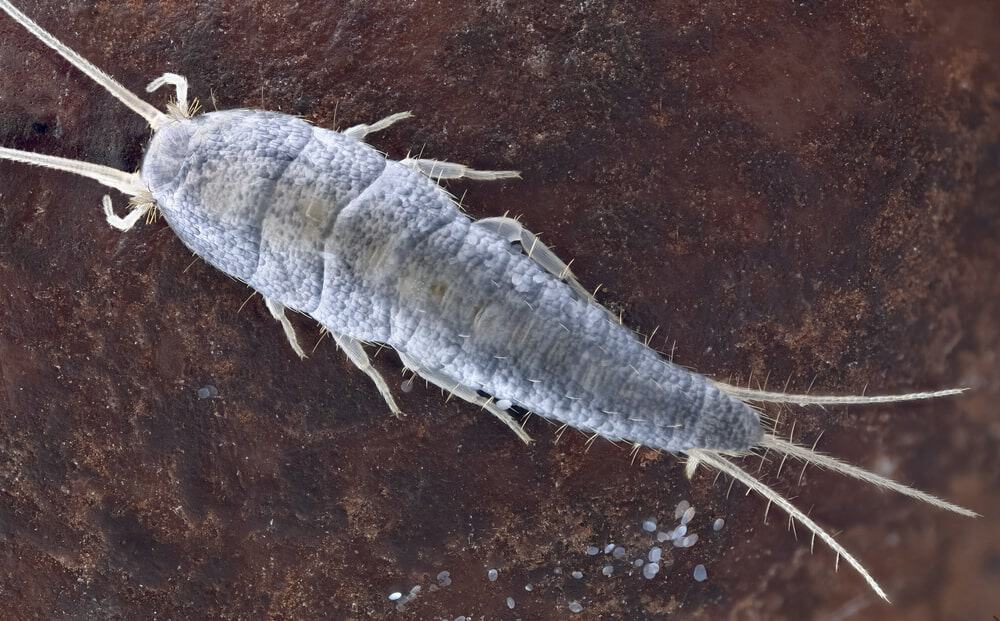 Silverfish in wild. Silverfish received their name because they move like a fish and has a silver color.