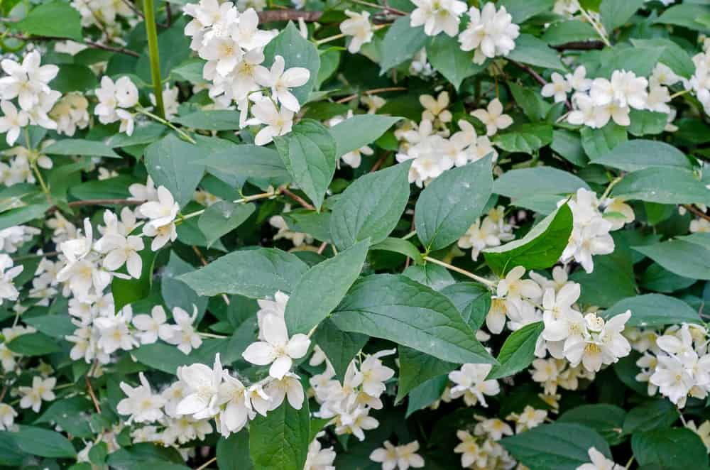 Royal Jasmine