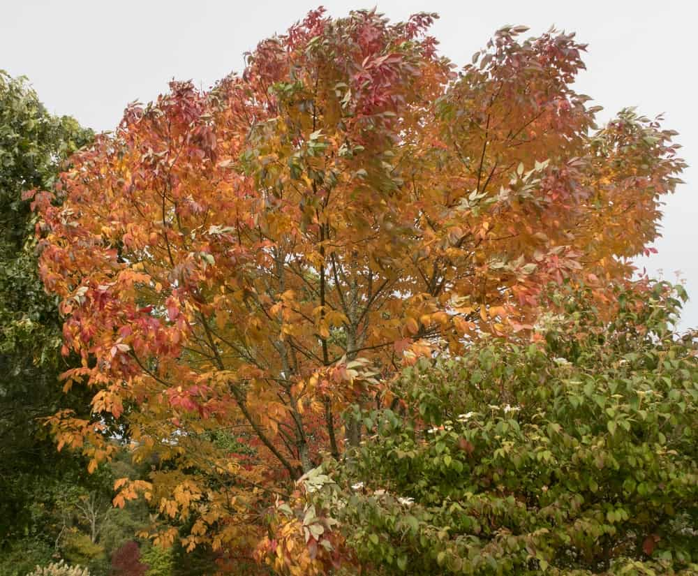 franxinus Americana in autumn
