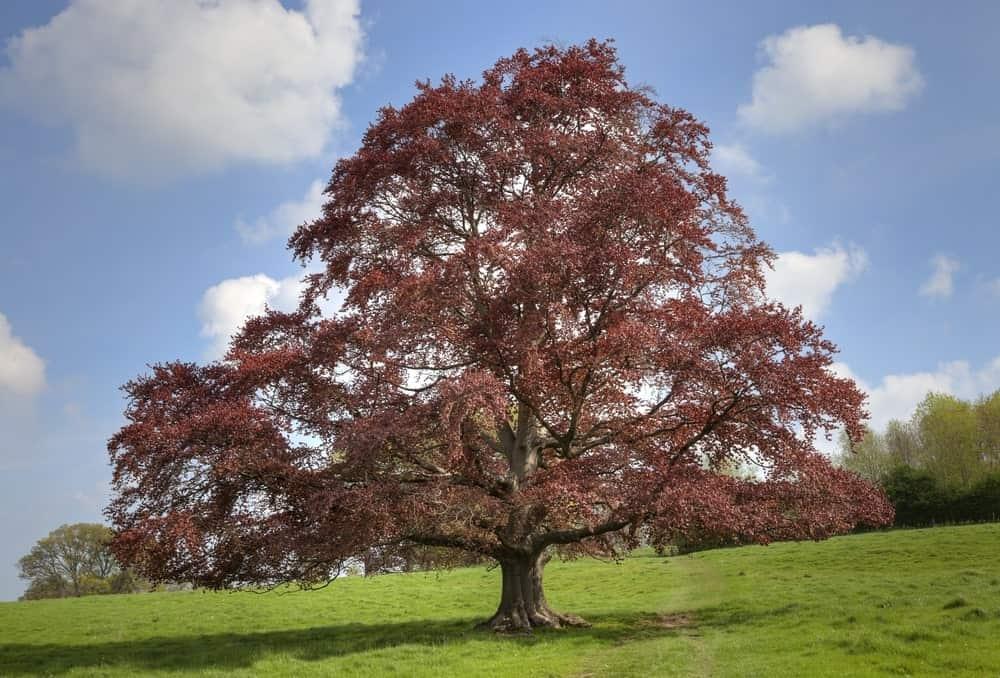Copper Beech Tree in a Field
