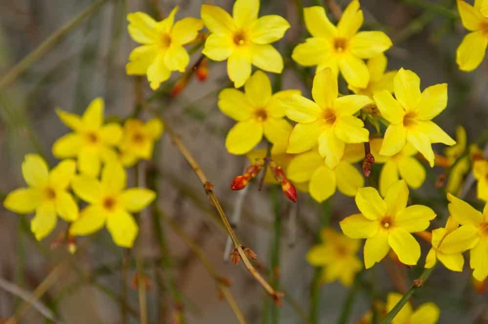 Yellow jasmines