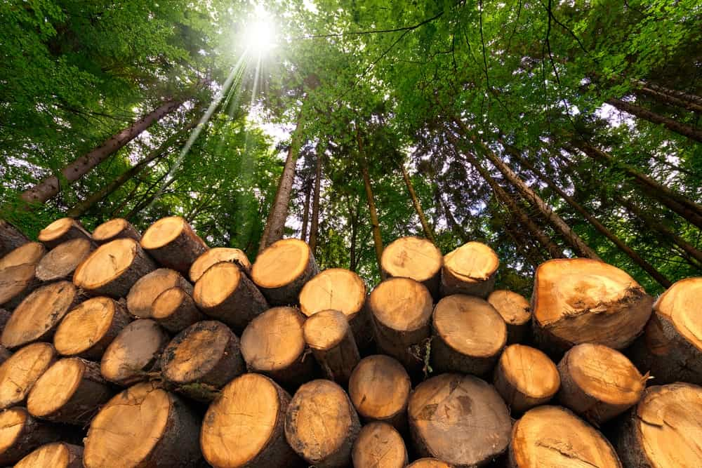 Different types of pine wood