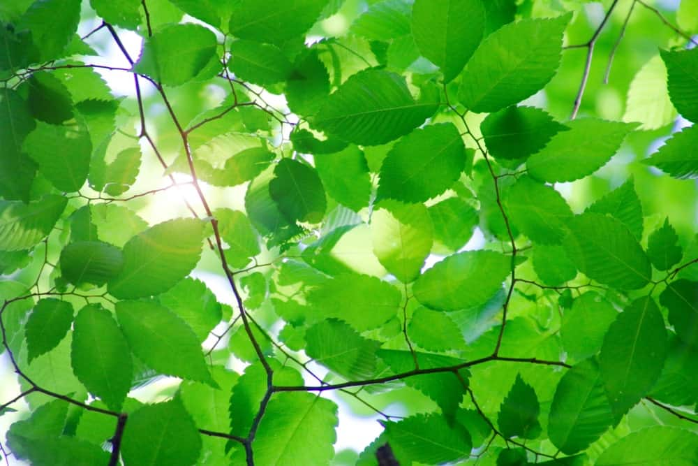 Bright green leaves of the Japanese beech tree