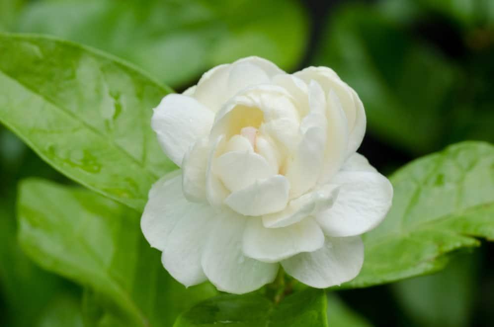 White Arabian jasmines