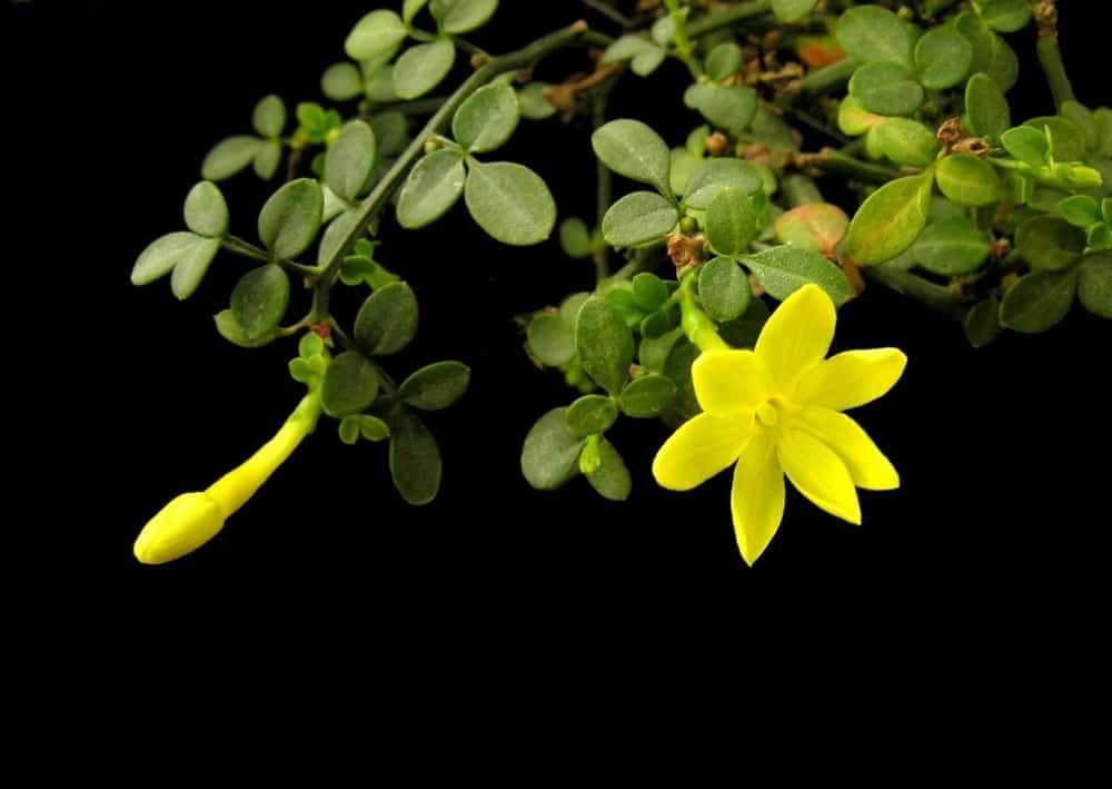 dwarf jasmine