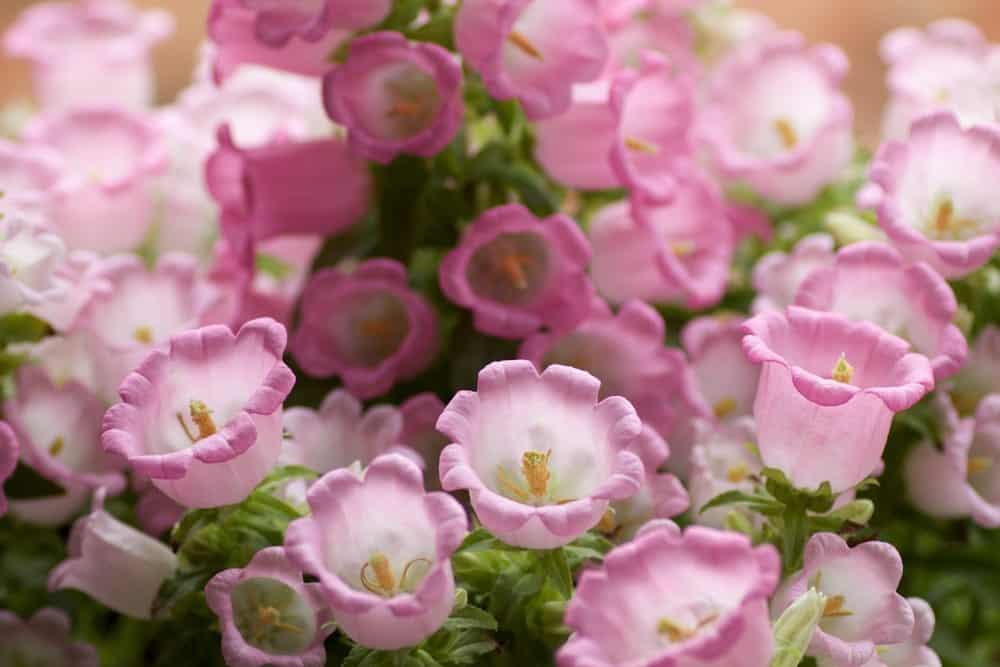 Campanula Medium – Champion Pink