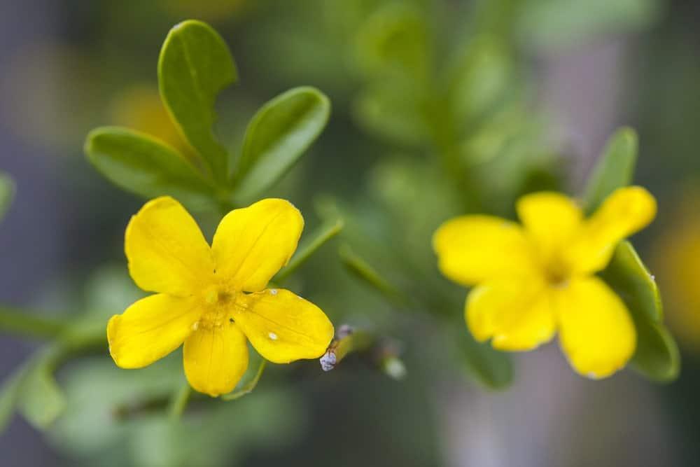 Wild jasmines
