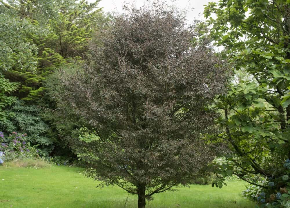 Fern Leaf Beech Tree in a cottage garden