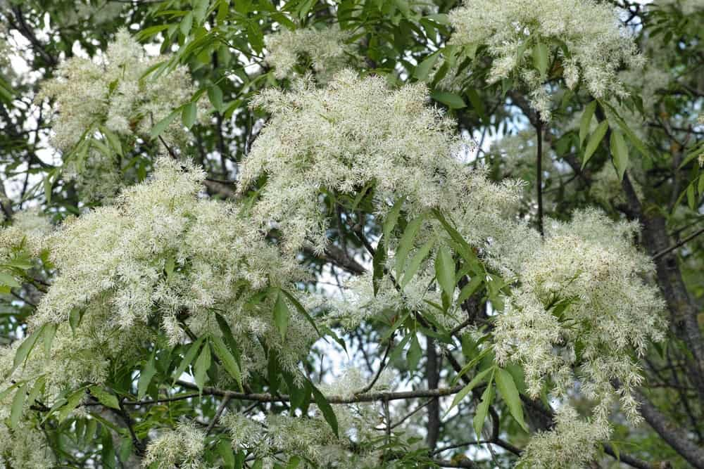 fraxinus ornus flowers and branches