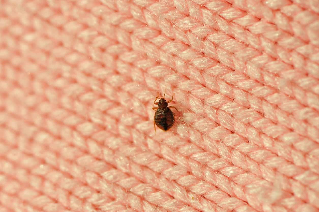A bed bug is a notorious parasite living in people's bedroom.